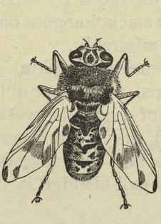 Hestebrems (Gasterophilus intestinalis)