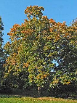Spisslønn (Acer platanoides)