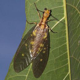 En «Kjempe mudderflue» (Corydalidae), disse finnes ikke i Europa.