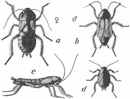 Orientalsk kakerlakk (Blatta orientalis). a, hunn; b, hann; c, hunn fra siden; d, nymfe.