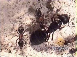 Maur (arbeidere og dronning)
