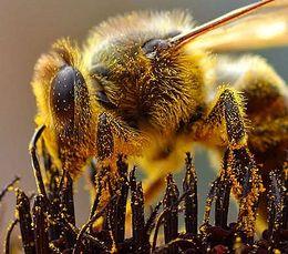 Bie som samler pollen. Foto: Jon Sullivan
