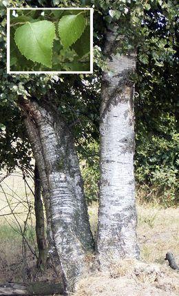 Vanlig bjørk (Betula pubescens)