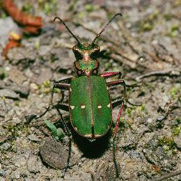 Grønn sandjeger (Cicindela campestris)