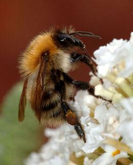 Humle (med pollenkurv med pollen på bakfoten). Bildet viser en åkerhumle (Bombus pascuorum).